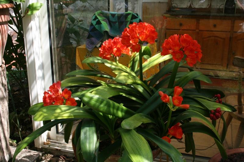 Ca commence, quelques fleurs à voir Clivia20
