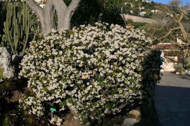 Jardin Exotique de Monaco Crassu10