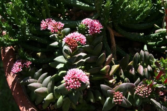 Crassula ' Bride Bouquet ' Crassu19