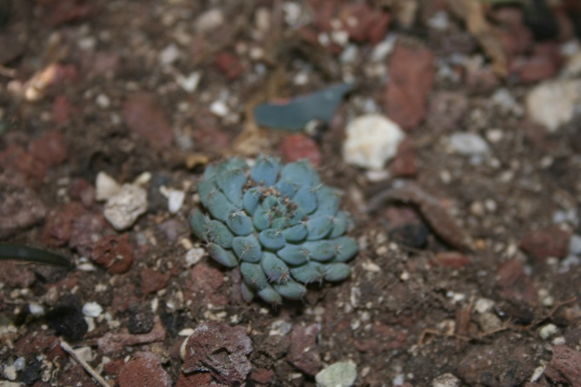 Echeveria miniature en fleurs Echeve22