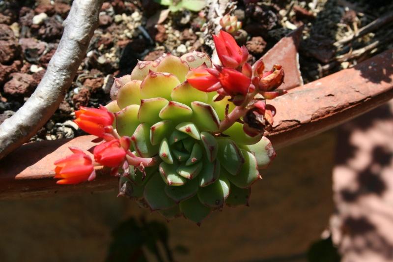 Echeveria miniature en fleur Echeve25