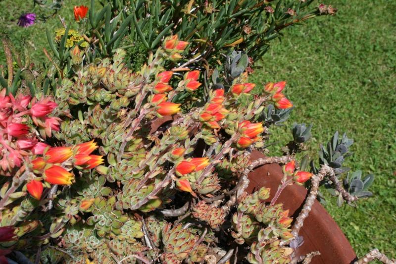 Echeveria miniature en fleur Echeve26