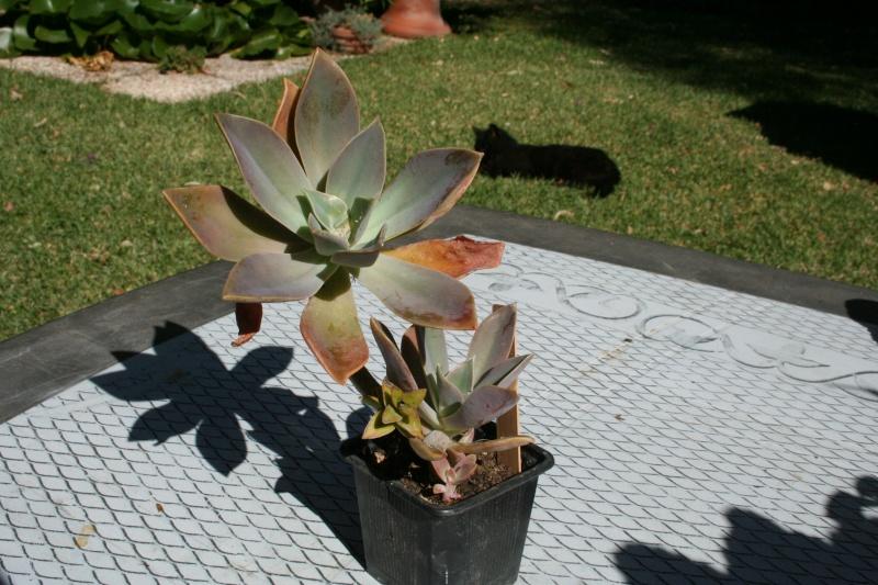Echeveria miniature en fleur Echeve27