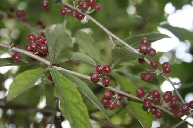 Elaeagnus multiflora ou goumi du Japon Elaeag10