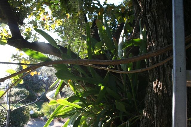 Epiphyllum  dans un olivier Epiphy10