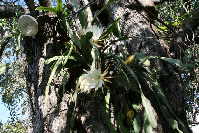 Epiphyllum  dans un olivier Epiphy11