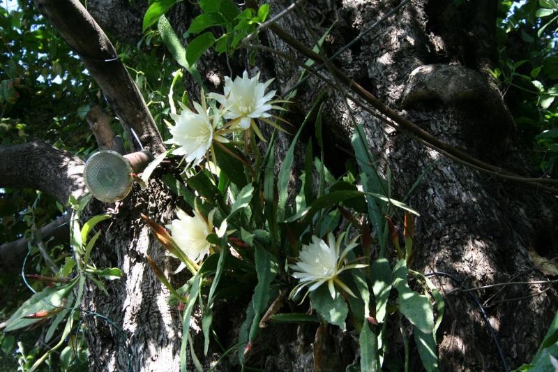 Epiphyllum oxypetalum Epiphy18