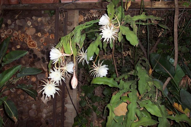 Epiphyllum oxypetalum Epiphy19