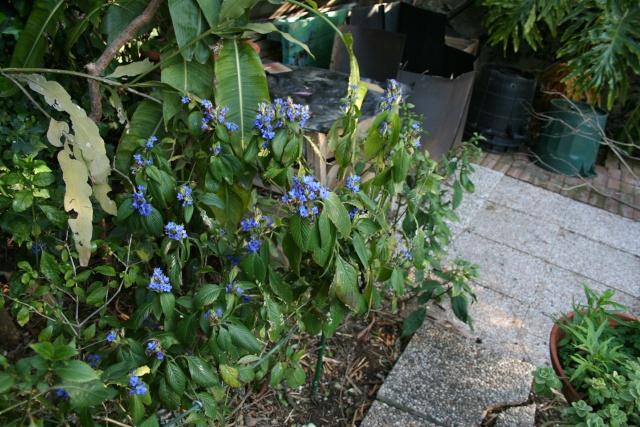 Plante de serre dans le Var - Eranthemum pulchellum Eranth11