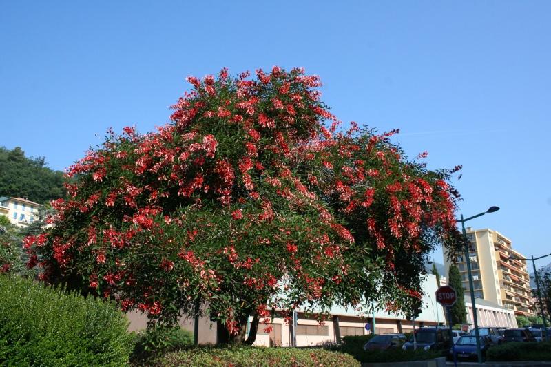 Alignements et arbres remarquables à Menton, ce matin Erythr13
