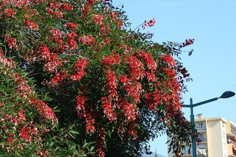 Alignements et arbres remarquables à Menton, ce matin Erythr14