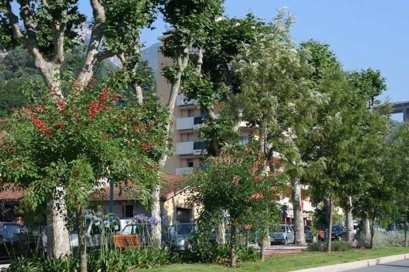 Alignements et arbres remarquables à Menton, ce matin Erythr16