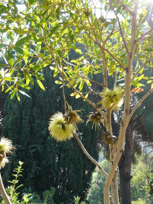 Un Eucalyptus superbe Eucaly10