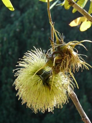 Un Eucalyptus superbe Eucaly11