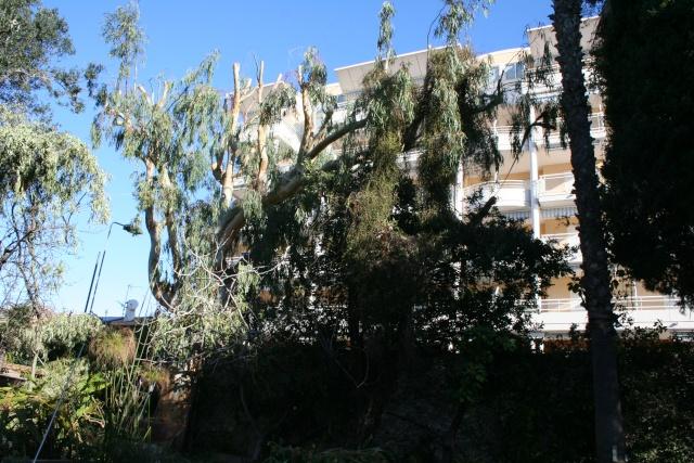 Elaguage de mon Eucalyptus Eucaly12