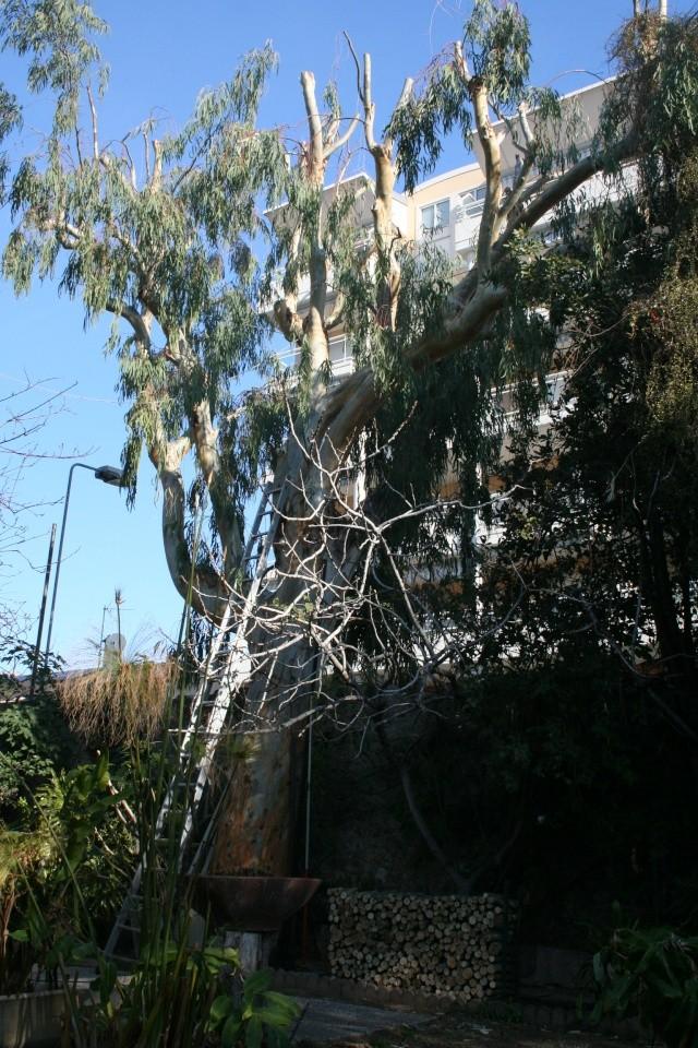 La découpe du bois de l'Eucalyptus est finie Eucaly14