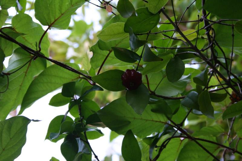 Cerisier des Tropiques, ou Cerisier de Cayenne Eugeni13