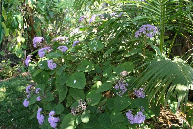 Splendeurs de mon jardin de la mi avril Eupato12