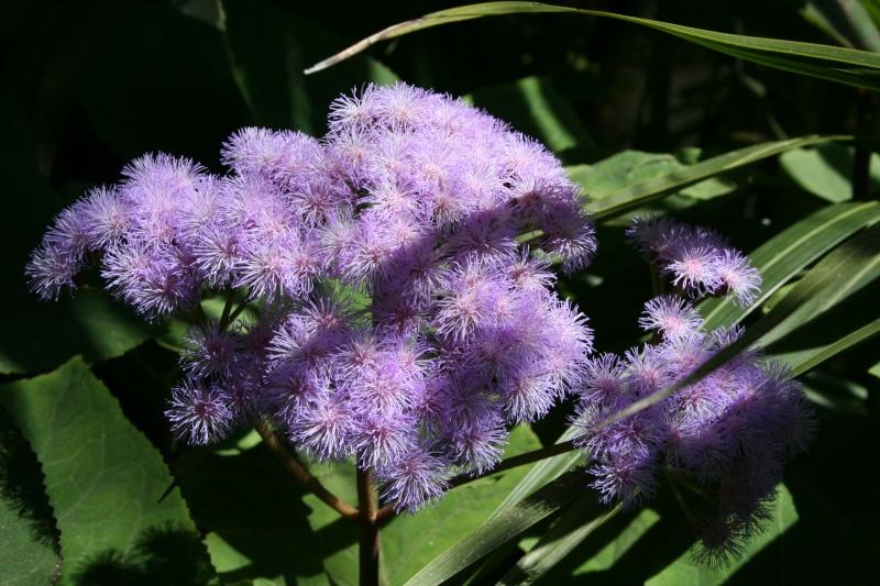 Ca commence, quelques fleurs à voir Eupato15