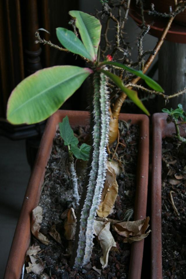 Sinningia canescens déjà en fleurs Euphor12