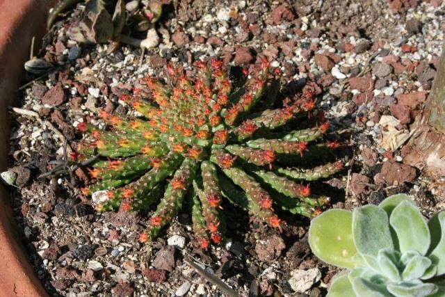 vous avez dit succulentes !!! Euphor19