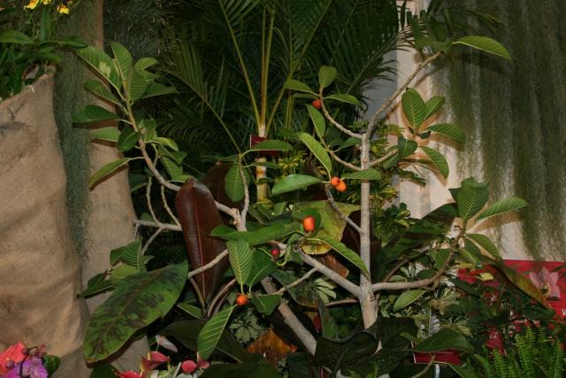 Ficus drupacea Ficus_10