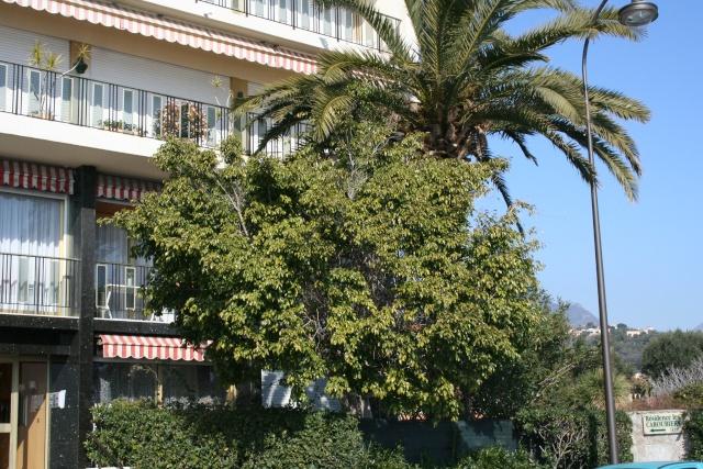 Ficus benjamina au naturel Ficus_11