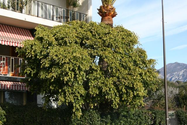 Agrumes autour de chez moi en cette fin février 2010 Ficus_12