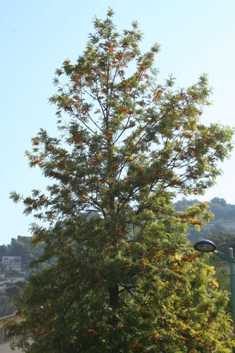 Alignements et arbres remarquables à Menton, ce matin Grevil10