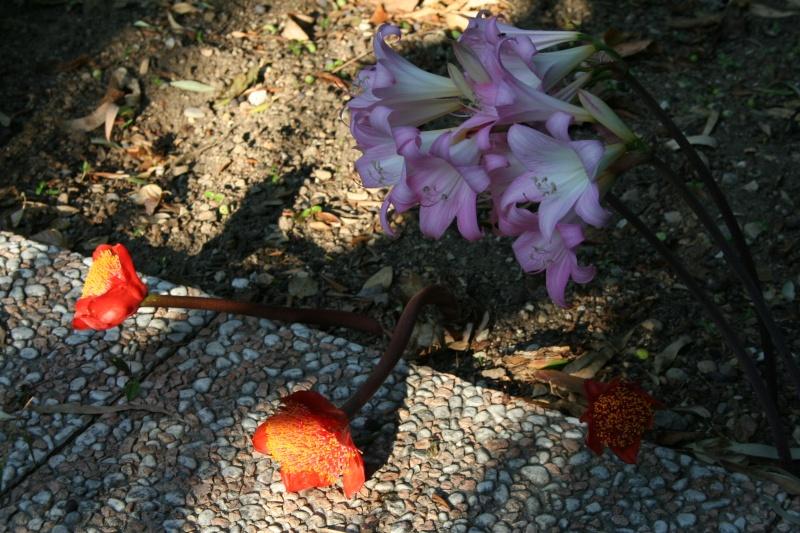 Jolies choses dans le jardin, Clivia et autres Haeman13
