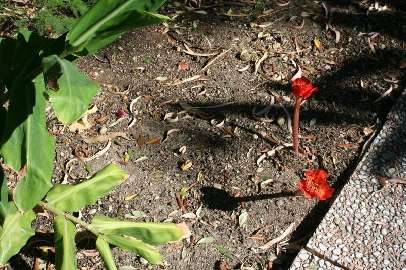 Heamanthus coccineus, feuilles géantes Haeman14