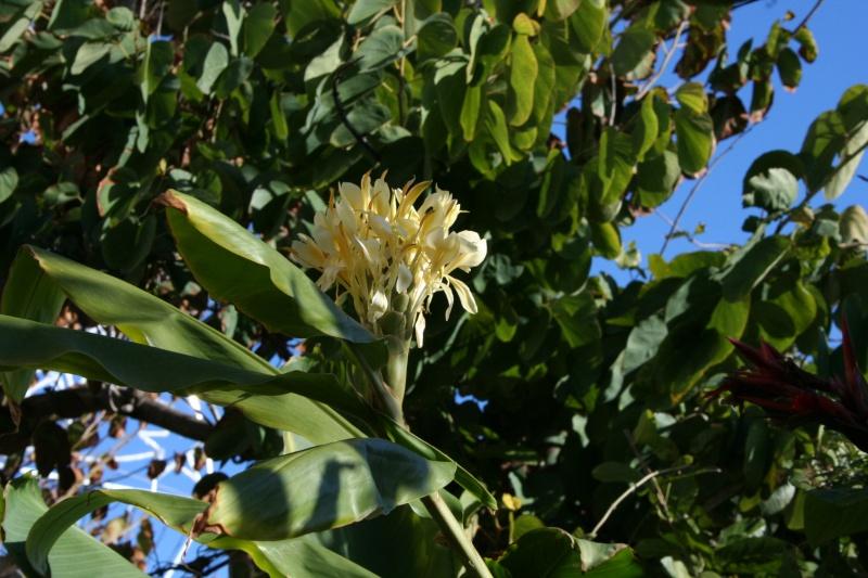Hedychium flavescens, un tardif Hedych18