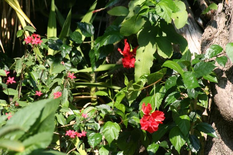Quelques photos de plantes en fleurs en ce moment Hibisc23