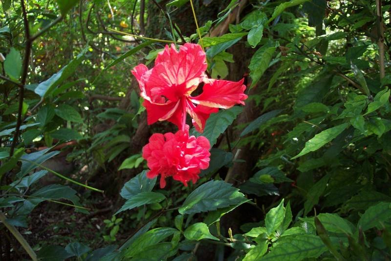 Quelques photos de plantes en fleurs en ce moment Hibisc25