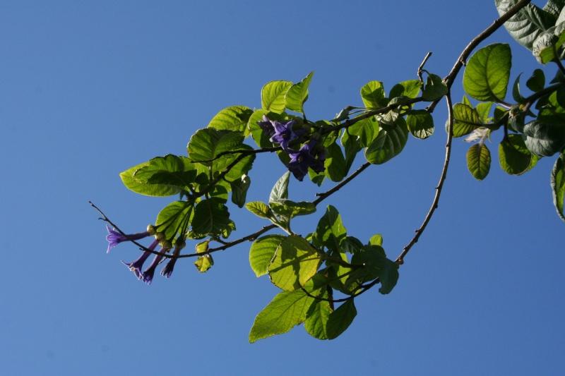 Iochroma grandiflora, un mini Datura bleu Iochro10