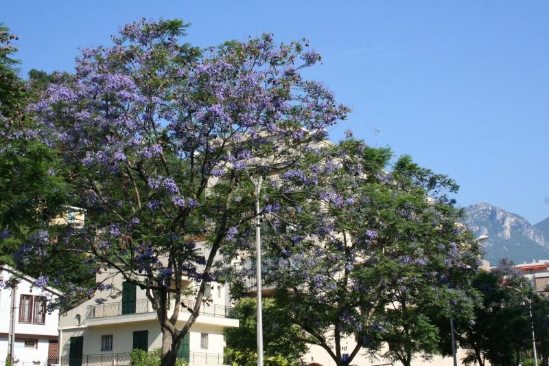Alignements et arbres remarquables à Menton, ce matin Jacara10