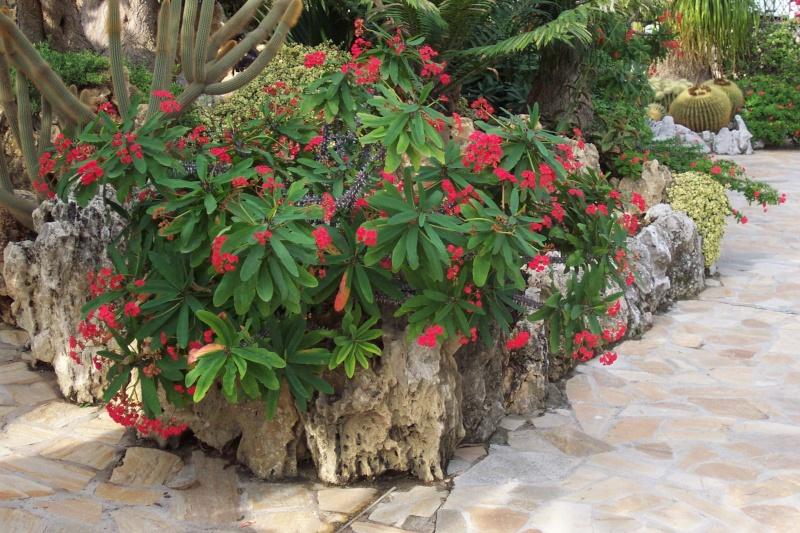 Euphorbia miilli var hisloppii, la géante Je_de_15