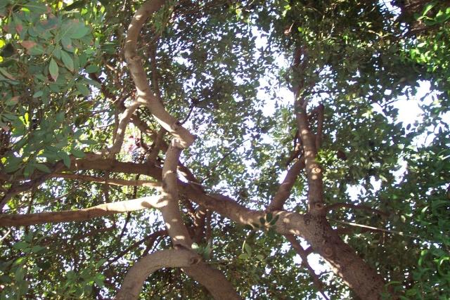 Persea americana ou Avocatier Mirazu10