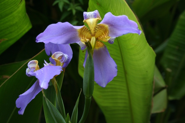 Un Iris tropical, Neomarica caerulea Neomar15
