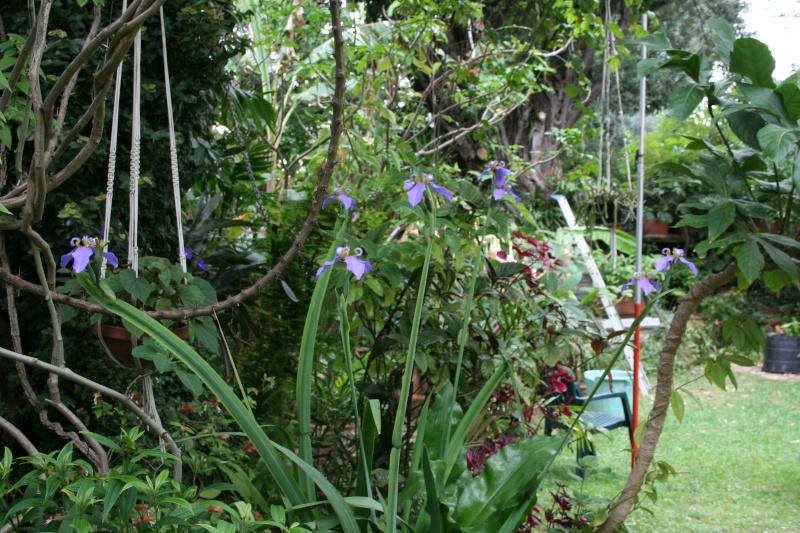 Neomarica caerulea, l'Iris du Brésil Neomar21