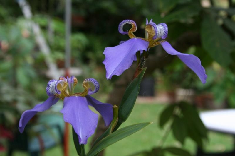 Neomarica caerulea, l'Iris du Brésil Neomar22