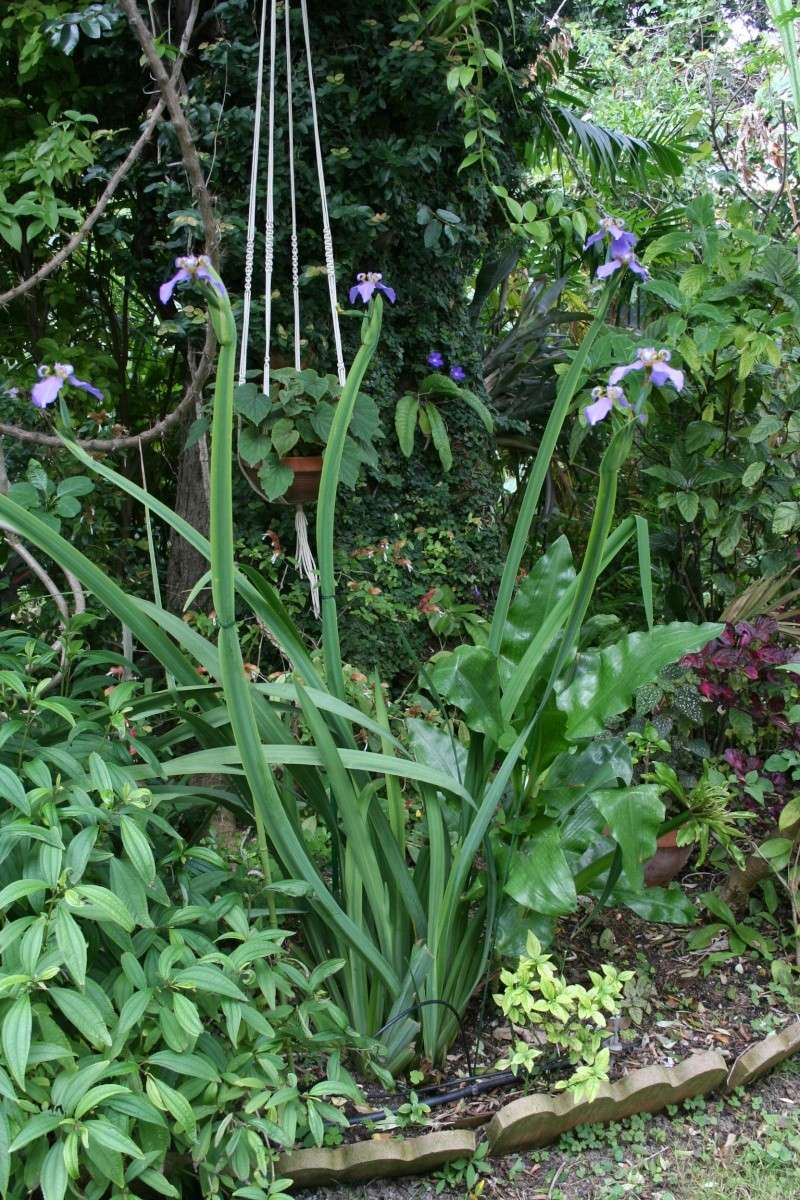 Neomarica caerulea, l'Iris du Brésil Neomar23