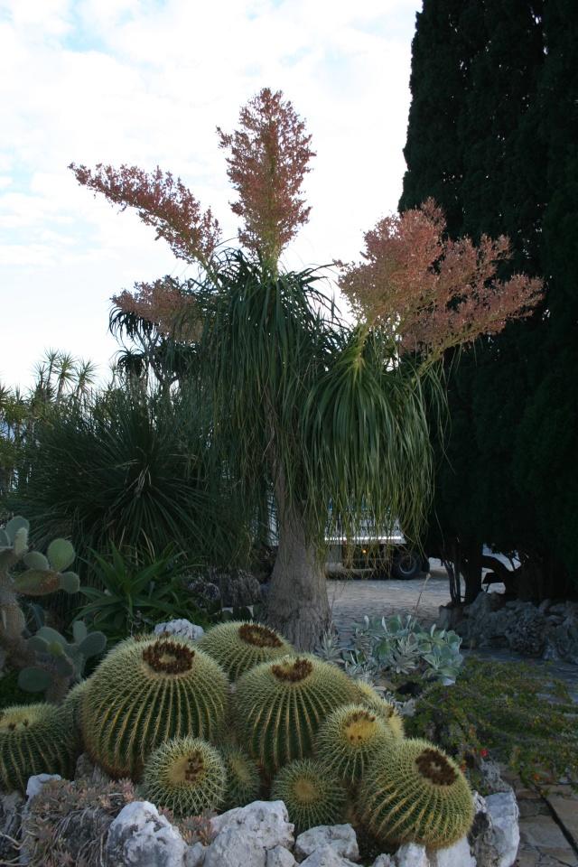 Jardin Exotique de Monaco Nolina10