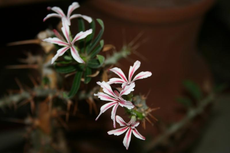 Jolies fleurs de Pachypodium Pachyp19