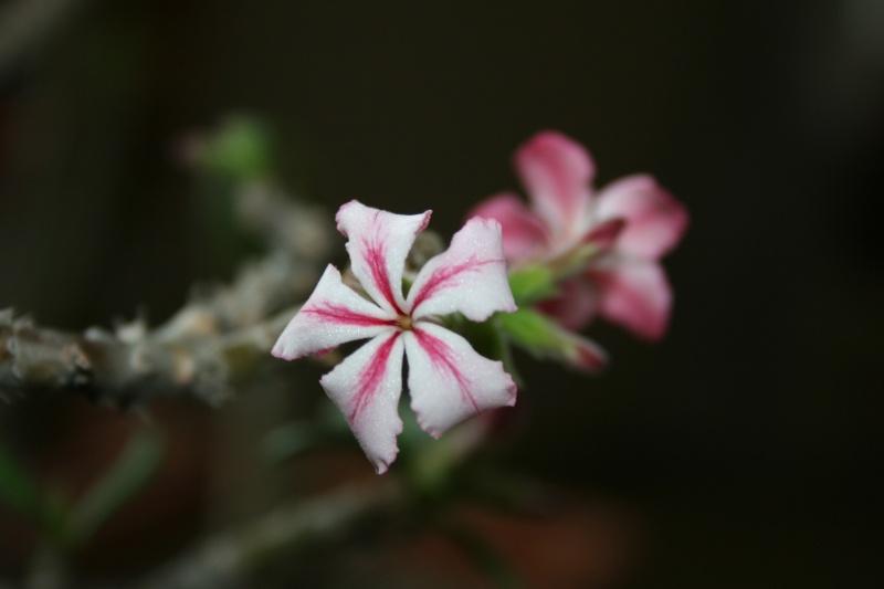 Jolies fleurs de Pachypodium Pachyp20