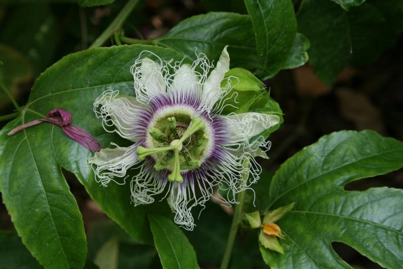 une merveille (Passiflora caerulea) Passif24