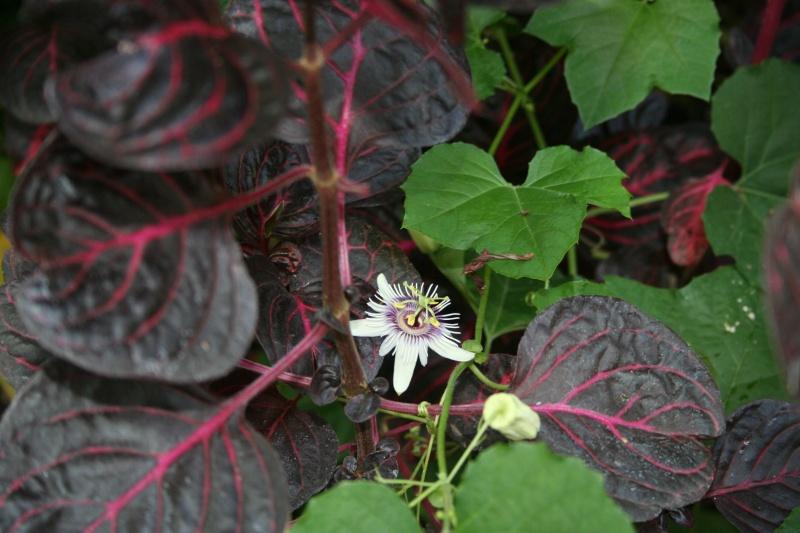 une merveille (Passiflora caerulea) Passif26