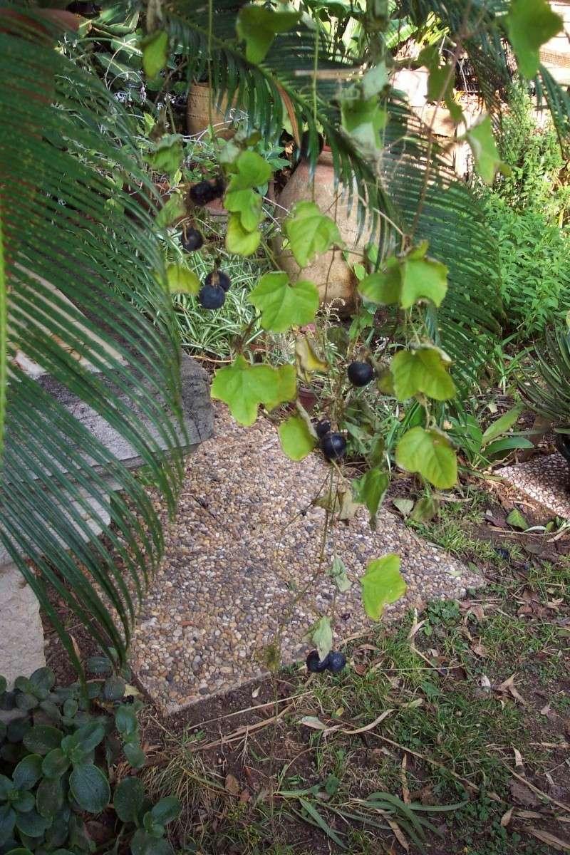 une merveille (Passiflora caerulea) - Page 2 Passif27
