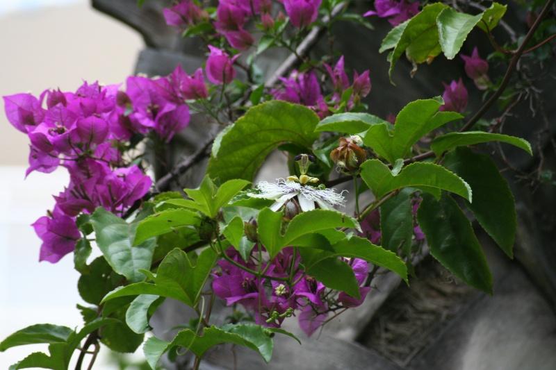 une merveille (Passiflora caerulea) - Page 2 Passif28
