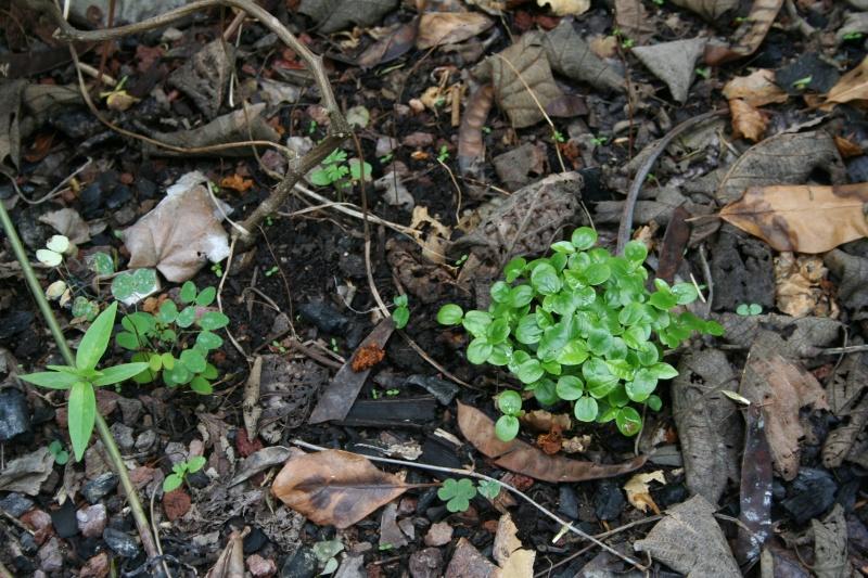 Pourquoi semer des Passiflora edulis ? Passif31